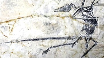 New Lizard Species Found Inside Stomach of Flying Dinosaur Fossil