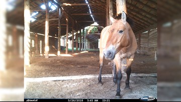 Rare Horses Caught on Camera in Chernobyl Exclusion Zone
