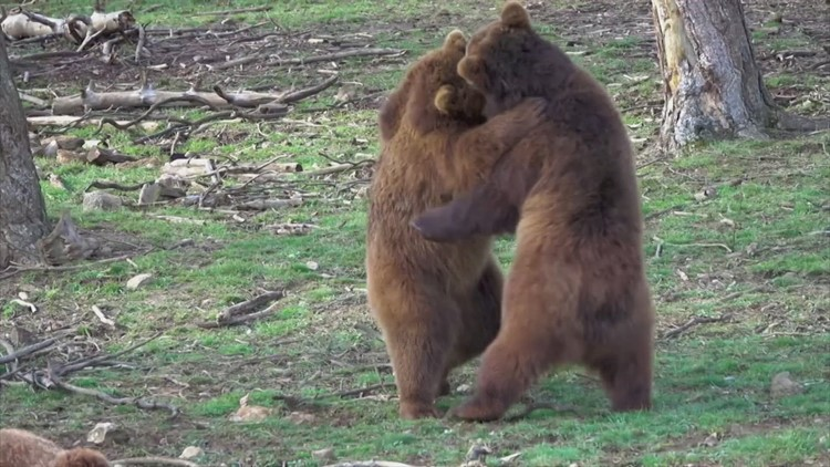 Brown Bears 'Waking' From Hibernation Rise and Shine At Belgian Zoo!