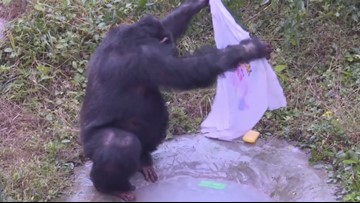 Chimpanzee Goes Viral After Doing Laundry in Chinese Theme Park