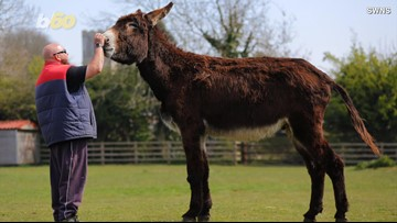 Is This HUGE Donkey About to Become The Biggest In the World?