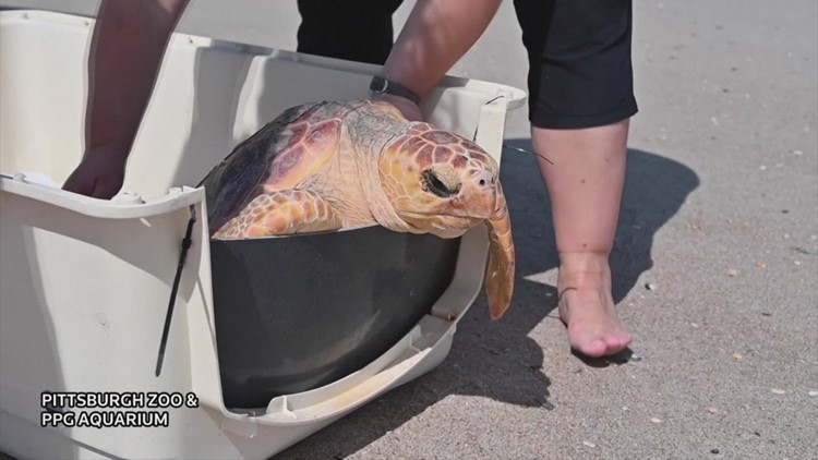 Turtley Awesome! Check out These Rescued Turtles Returning to the Ocean!
