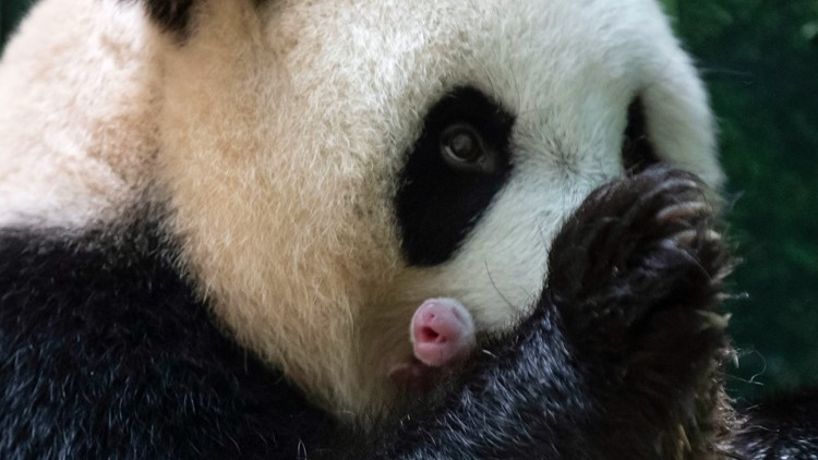 Giant panda in French zoo gives birth to female twins