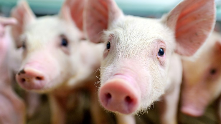 Mice and pigs can breathe through their butts, study finds. Now, can humans?