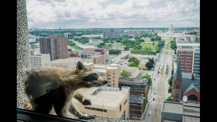 A raccoon stretches itself on the window sill of the Paige Donnelly Law Firm on the 23rd floor of the UBS Tower in St. Paul, Minn., on June 12.