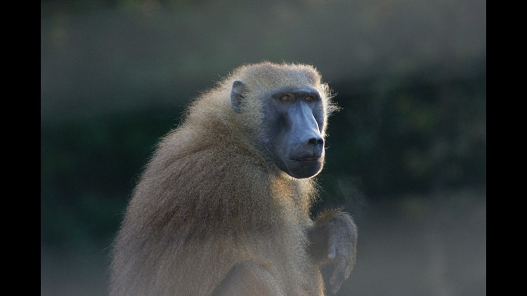 Baboon escapes cage at San Antonio International Airport