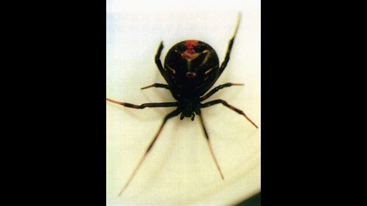 can black widow spiders kill you - 750×422