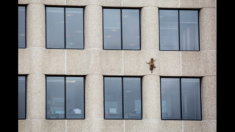 The raccoon surprisingly clawed up the side of the 25-story tower.