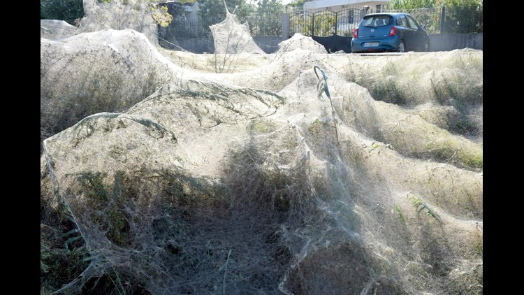 Spiders blanket lagoon with thick layer of webs