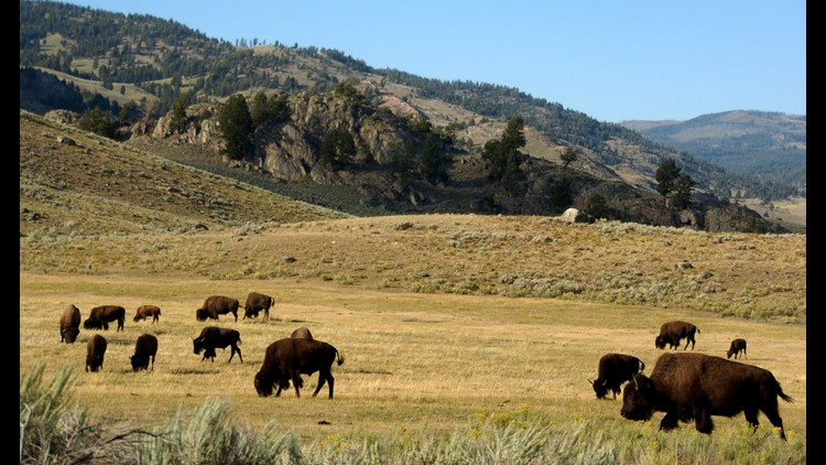 Bison-Harassing Man Arrested After Weird, Drunken National Park Tour