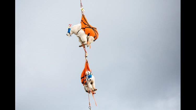 Sedated, blindfolded mountain goats being relocated from Olympic National Park on Thursday. Helicopters and trucks are relocating hundreds of mountain goats from Olympic National Park in an effort officials said will protect natural resources, reduce visi