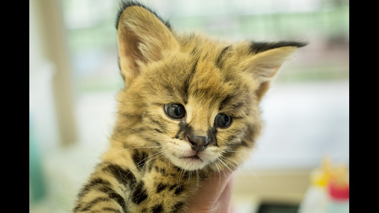 This Serval kitten was born April 6 at Tanganyika Wildlife Park.