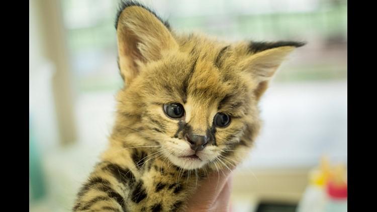 This Serval kitten was born April 6 at Tanganyika Wildlife Park.