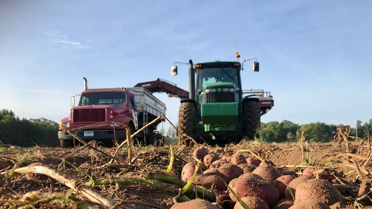 Edling potatoes lie in the foreground as the harvester approaches