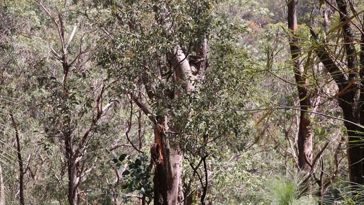 San Diego Zoo Koala Australia