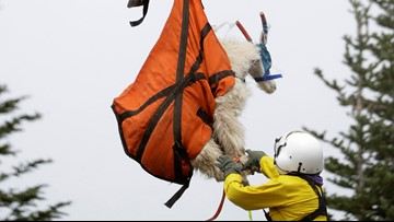Mountain goats being flown out of Olympic National Park by helicopter