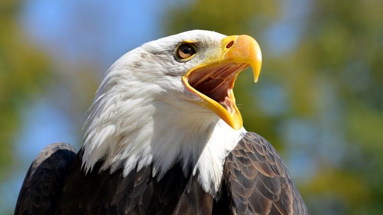 $5,000 reward offered for information on bald eagle shooting