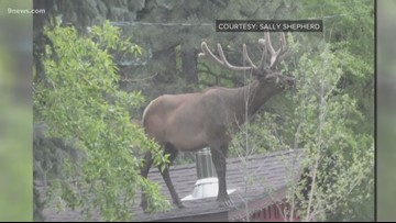 We have a lot of questions about this elk standing on a roof in Colorado