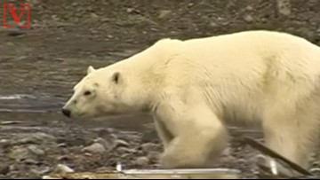 Hungry Polar Bear Wanders into Russian City Hundreds of Miles From Home