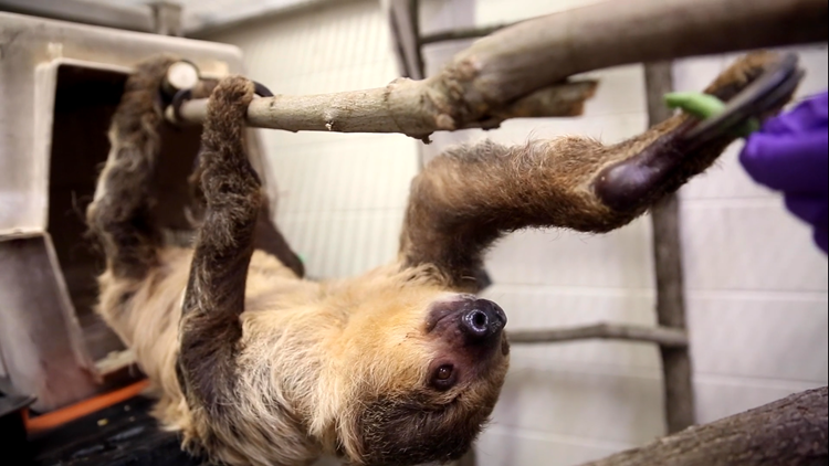 Welcome ... to ..... Knoxville! | Zoo Knoxville welcoming new sloth, Joe
