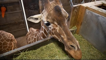 Nation's oldest living giraffe enters final days at Zoo Knoxville