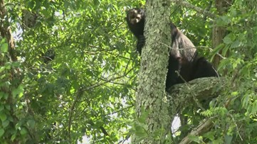 10Listens: What you need to know about bear hunting season