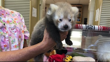 Zoo Knoxville will soon be hand-raising four red panda cubs