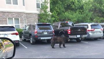 Two bear sightings in West Knox County are rare, but not completely out of the norm