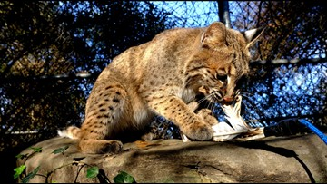 UPDATE: Officials with Chattanooga nature center believe stolen bobcat fought and escaped