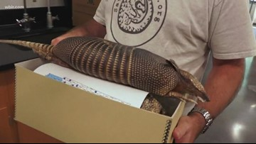 Biologists confirm armadillos have made it into the Smokies