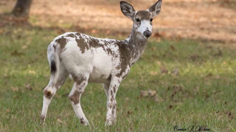 TN man pleads guilty to illegally hunting piebald deer