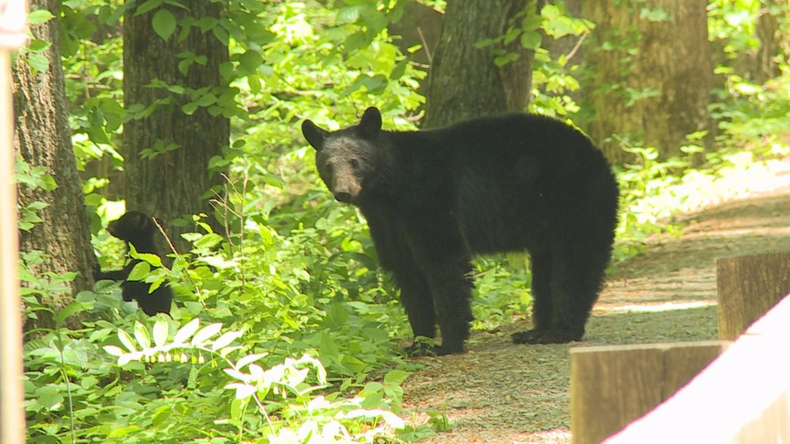 NC medical examiner: Rare bear attack led to 2020 death of man in the Great Smoky Mountains