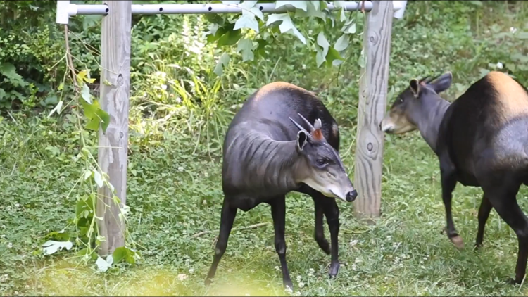Zoo Knoxville introduces new Yellow-back duiker