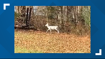 Snow white albino deer caught on video near Nashville