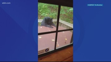 A beary good attempt: Bear tries to take a dip in Gatlinburg tourist's hot tub