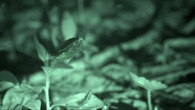 A female synchronous firefly flashes on the ground to answer the mating calls/flashes of males flying overhead.