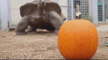 Zoo Knoxville tortoise carves a pumpkin, sort of