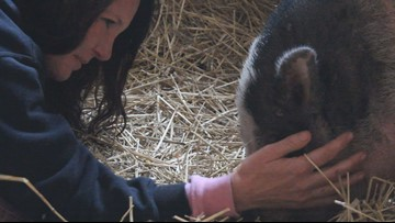 New twist in the tale of wildfire survivor Charles the Pig
