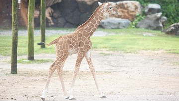 Zoo Knoxville reveals name  of baby giraffe