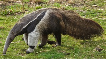 A giant anteater is coming to Zoo Knoxville and we can't wait to see her!