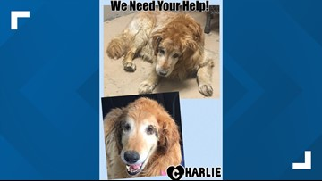 Adopt A Golden: Charlie is out of the ICU, headed to primary vet