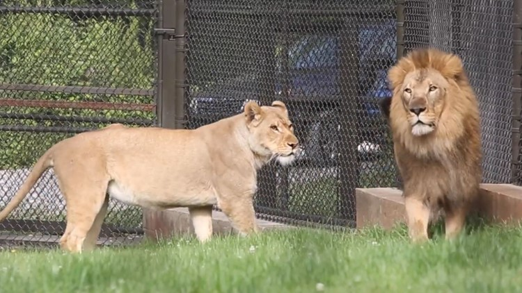 Zoo Knoxville hoping to make a lion love connection