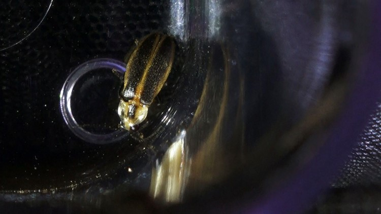 The snappy sync lightning bug is identified, in part, by what looks like a shield on its head.