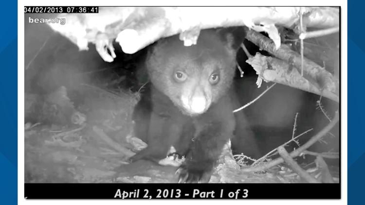 Black bear families to start leaving dens, according to Appalachian Bear Rescue