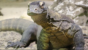 Khaleesi, Zoo Knoxville's star Komodo dragon, unexpectedly dies from infection