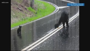 Momma bear and her cubs cross the road in the Smokies