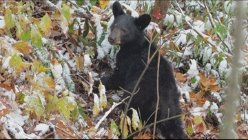 Check This Out: a bear cub spotted in the snow at Crib Gap
