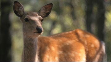 CWD continues to spread in West Tennessee after deer tests positive in Shelby County
