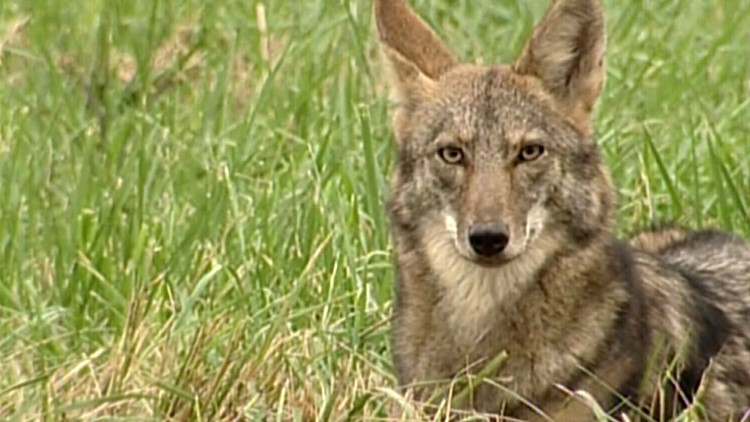 How to stay safe as coyotes are out and about in East Tennessee
