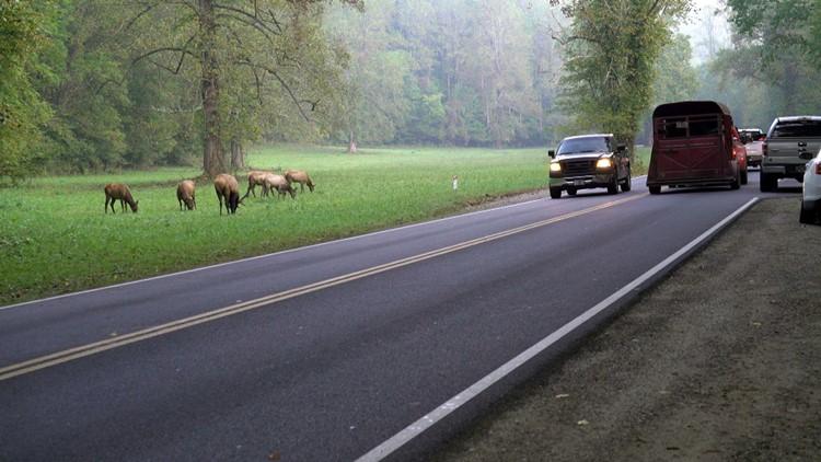 Bull elk and harem Oconaluftee GSMNP Great Smoky Mountains Smokies